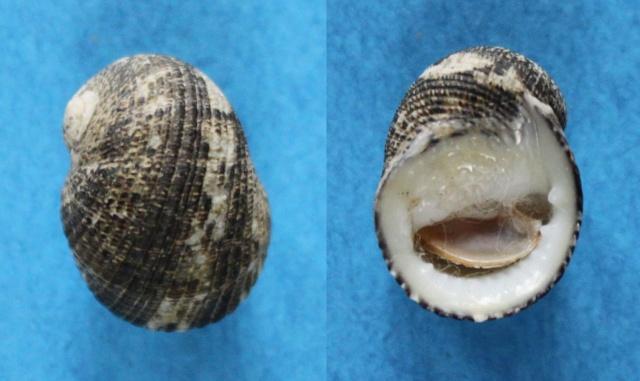 Nerita funiculata - Menke, 1851 Panor185