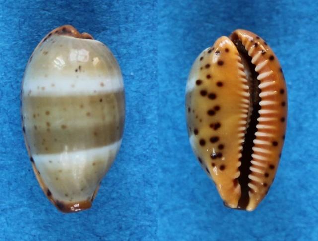 Palmadusta lutea - (Gmelin, 1791) Panor188
