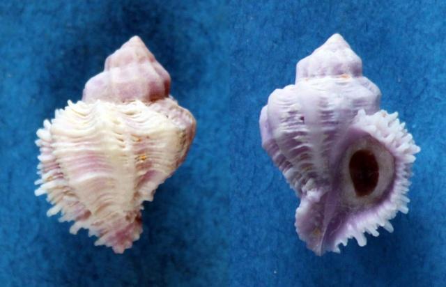 Coralliophila bulbiformis - (Conrad, 1837)  Panor189