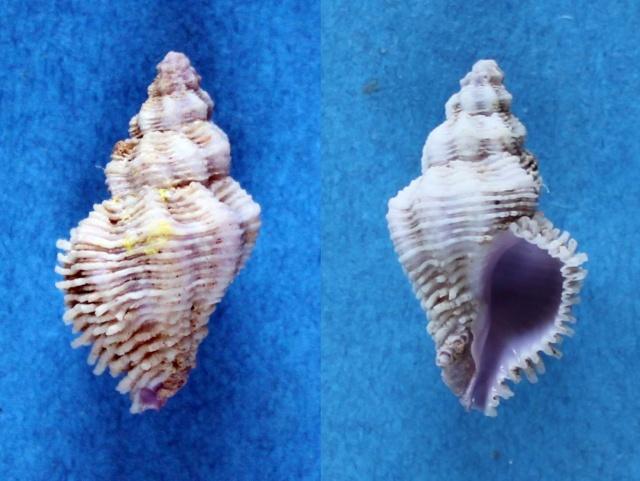 Coralliophila costularis - (Lamarck, 1816) Panor190