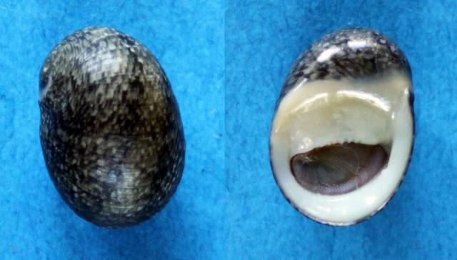 Nerita incerta - von dem Busch, 1844 Panor200