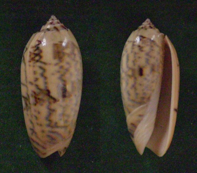 Oliva tremulina (Miniaceoliva) - Lamarck, 1811 Panora12