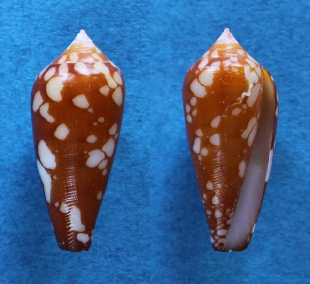 Conus (Darioconus) crocatus   Lamarck, 1810 - Page 3 Panora19