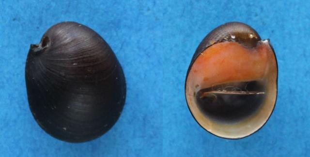 Neritina canalis - Sowerby I, 1825 Panora26