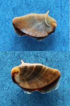 Neritina canalis - Sowerby I, 1825 Panora27