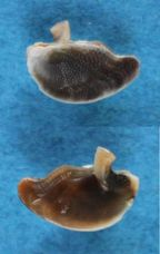 Nerita_fulgurans_Gmelin, 1791 Panora40