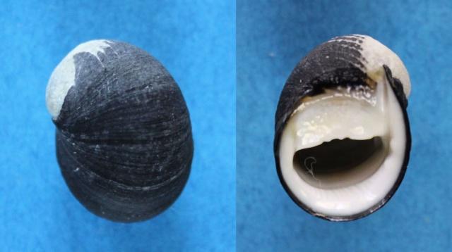 Nerita_fulgurans_Gmelin, 1791 Panora41