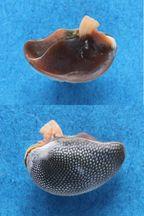 Nerita undata - Linnaeus, 1758 Panora43