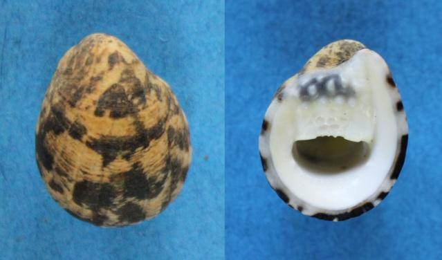 Nerita albicilla - Linnaeus, 1758 Panora45