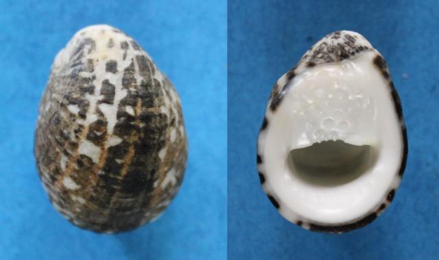 Nerita albicilla - Linnaeus, 1758 Panora46