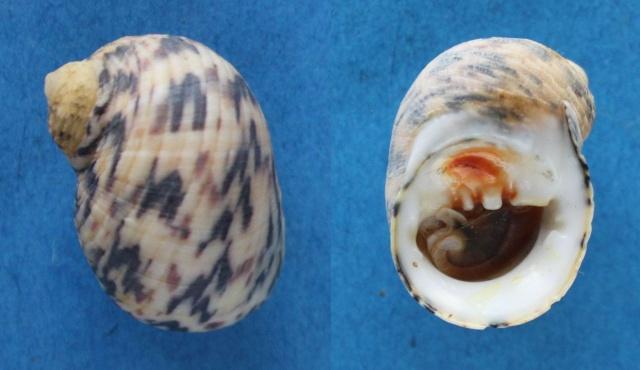 Nerita peloronta - Linnaeus, 1758 Panora47