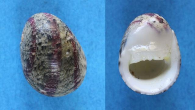 Nerita polita - Linnaeus, 1758 Panora51