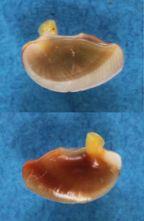 Nerita polita - Linnaeus, 1758 Panora53