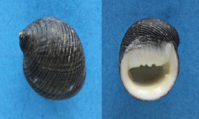 Nerita aterrima - Gmelin, 1791 Panora64