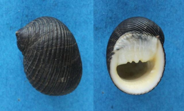 Nerita aterrima - Gmelin, 1791 Panora65