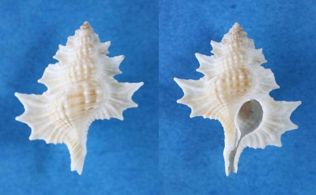 Cymatiidae Gyrineum perca - (Perry, 1811) (original combination) Panora82