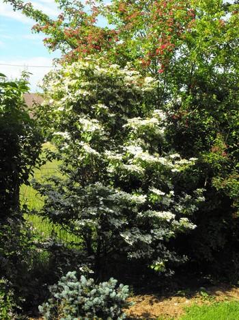 Viburnum plicatum 'Watanabe' !!! - Page 2 Copie_10