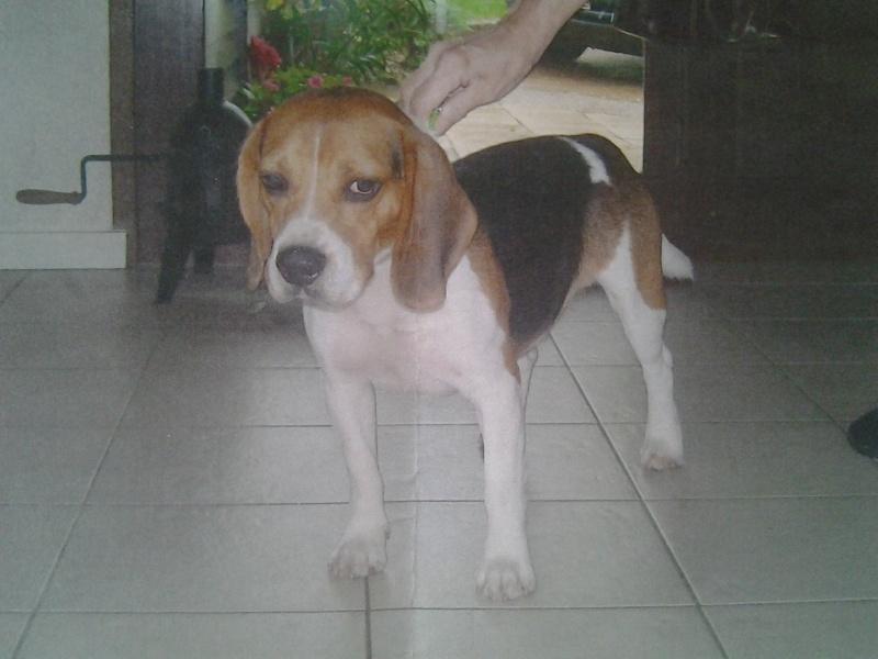 Beagle mâle deux ans LOF bien éduqué à adopter (69) 20121012