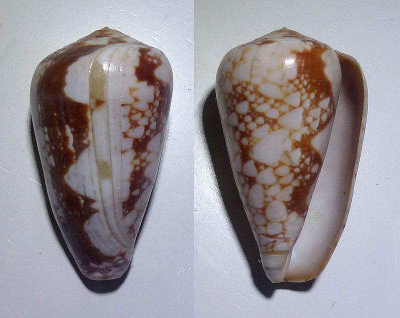 Conus (Darioconus) pennaceus bazarutensis   Fernandes & Monteiro, 1988 1171_p10
