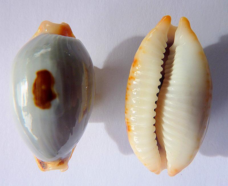 Bistolida stolida salaryensis - Bozzetti, 2008 - Page 2 P1110110