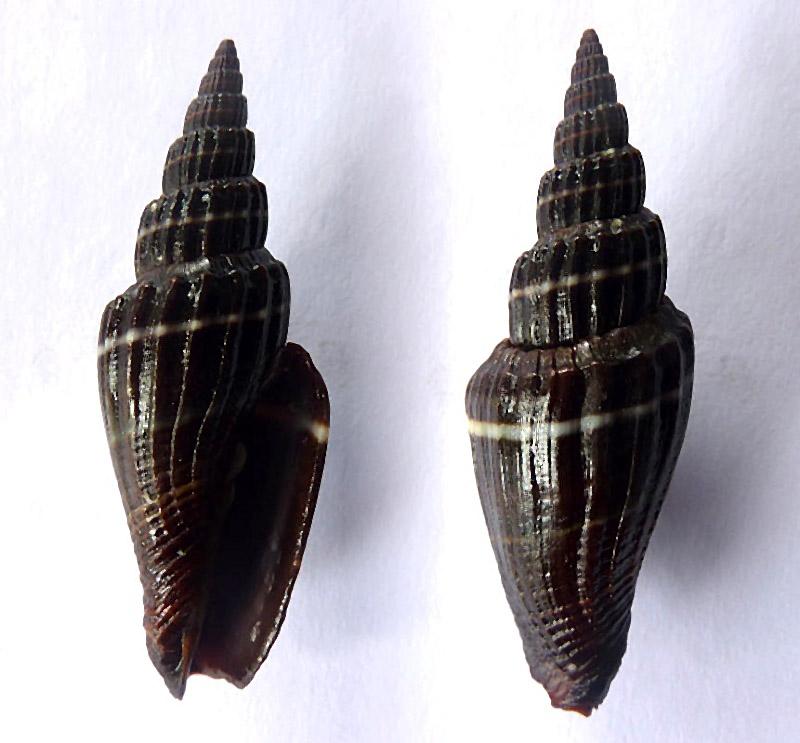 Vexillum subdivisum - (Gmelin, 1791) Vex_su10