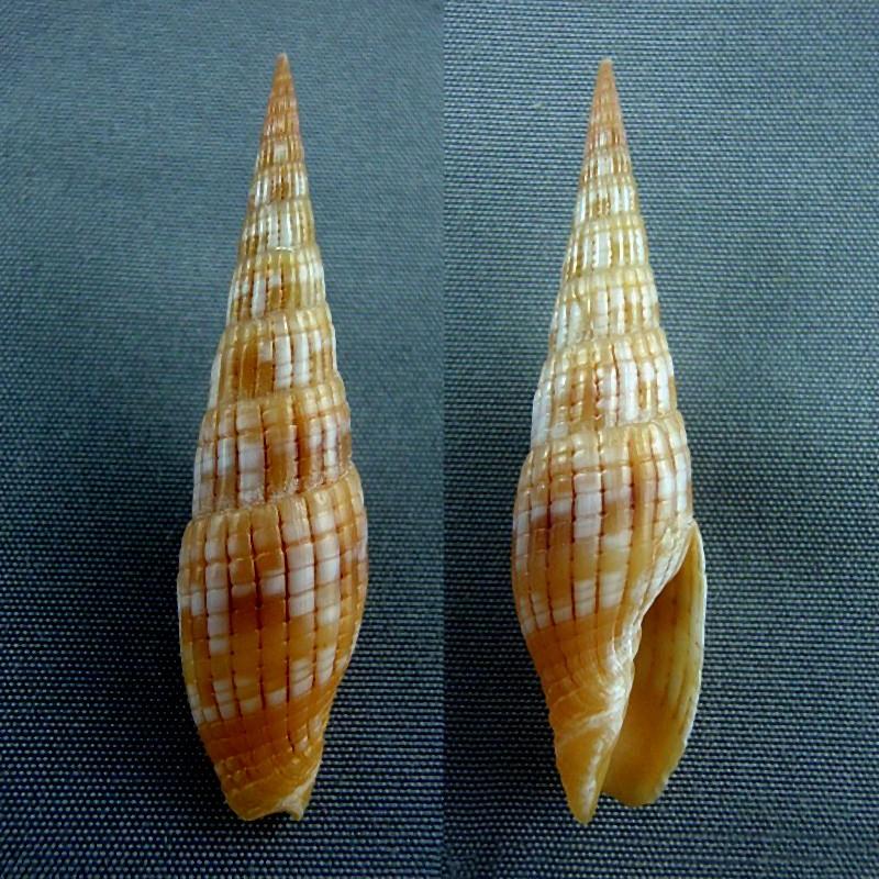 Vexillum costatum - (Gmelin, 1791) Vexill10