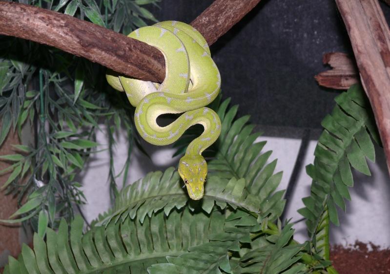 Morelia viridis Lereh  P1060610