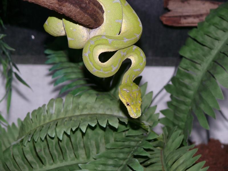Morelia viridis Lereh  P1060611