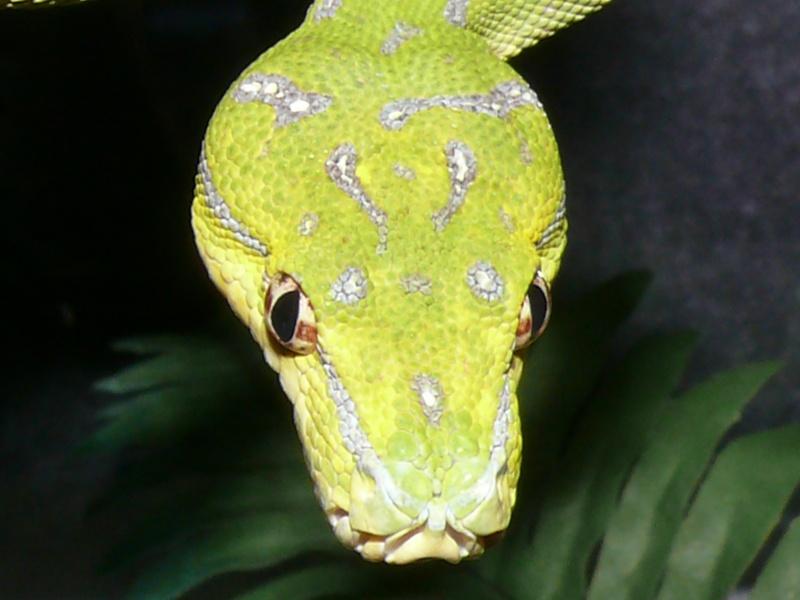 Morelia viridis Lereh  P1060613