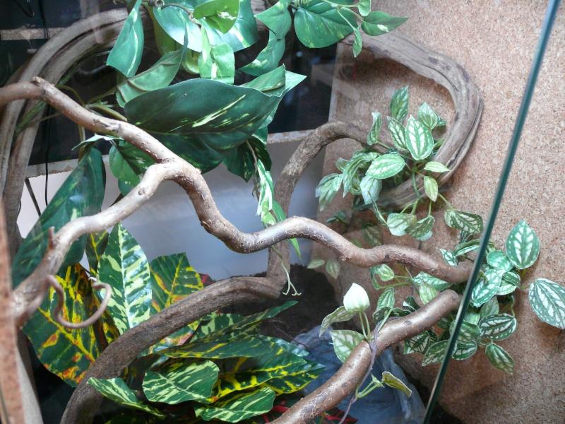 Morelia viridis Lereh  P1060717