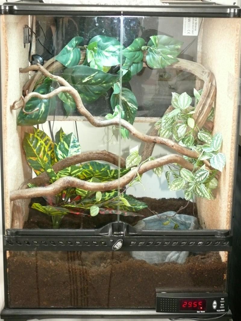 Morelia viridis Lereh  P1060718