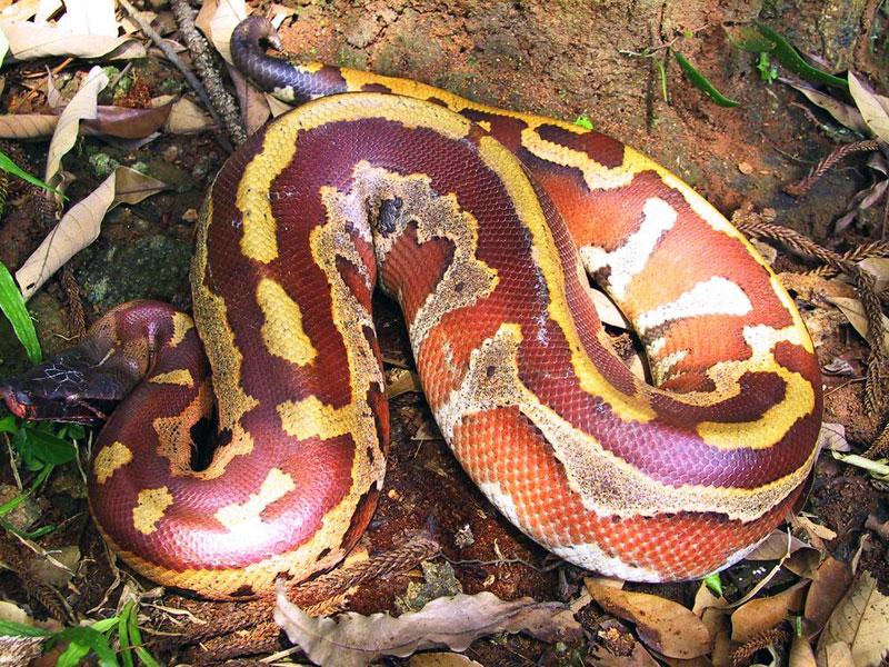 Brongersmai Python10