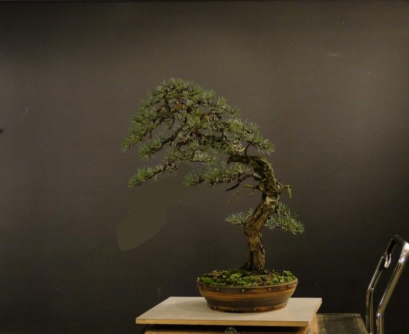 Pinus sylvestris - wider trunk - Page 2 Pinus110