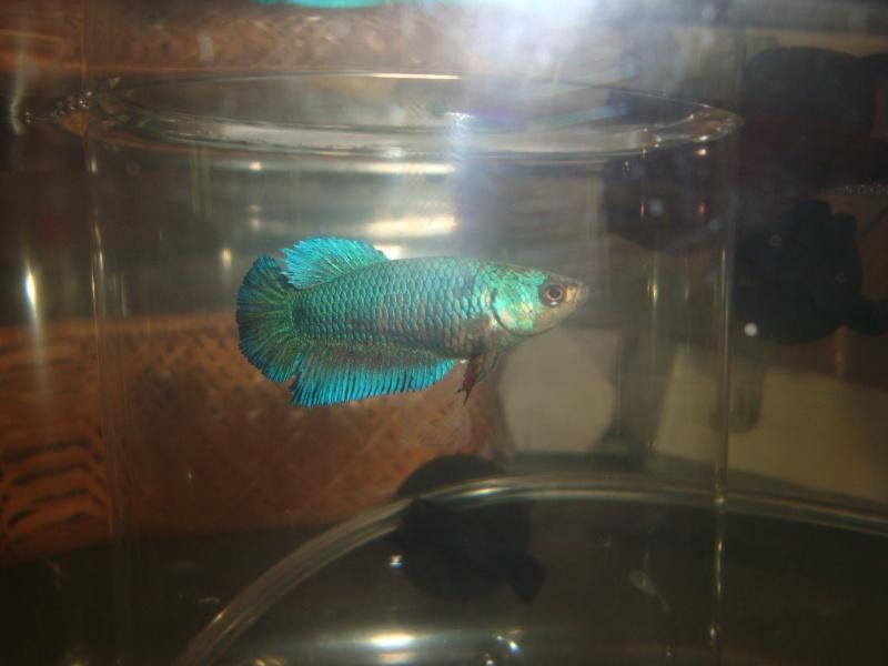 Mâle bleu mrabré x femelle blau metallique  28210