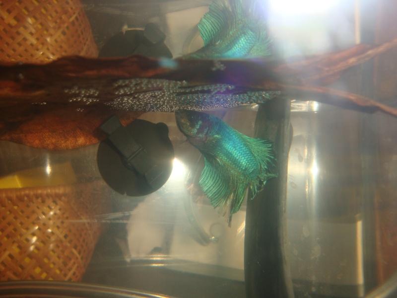 Mâle bleu mrabré x femelle blau metallique  28310
