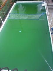eau tres verte, traitement en cours 20130811