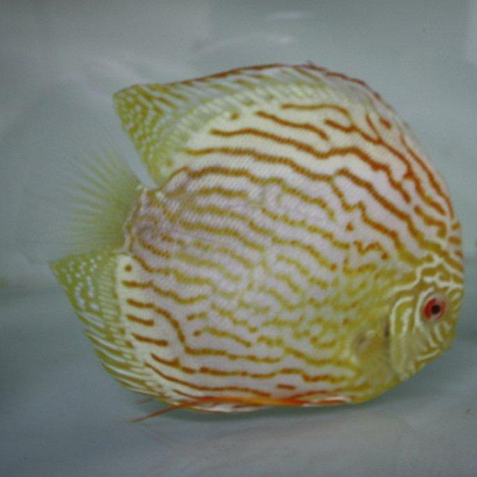 Projet Souche Albino Turquoise  Img_4911