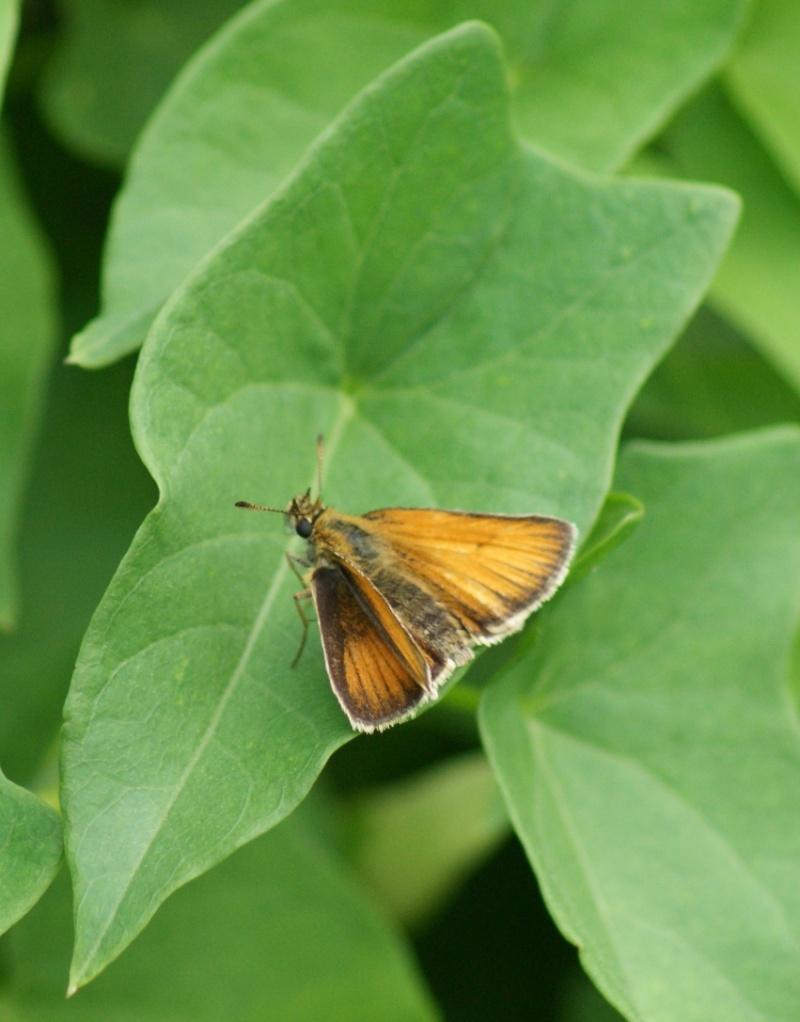 Autres papillons Saint-13