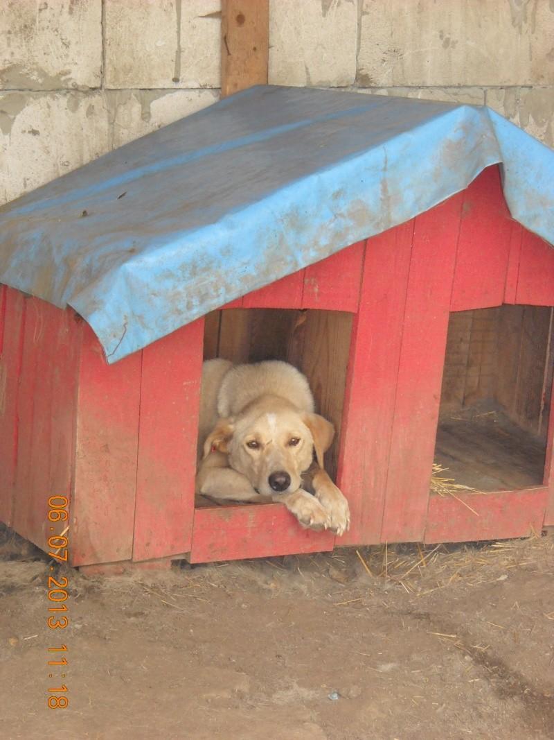 BOX (trois) , croisé labrador, né en 2007 -  Parrainée par Samie + Gage-coeur : (1) Samie -R-F-SOS-SC- Box_ds10