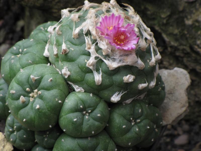 Lophophora jourdaniana Lophop10