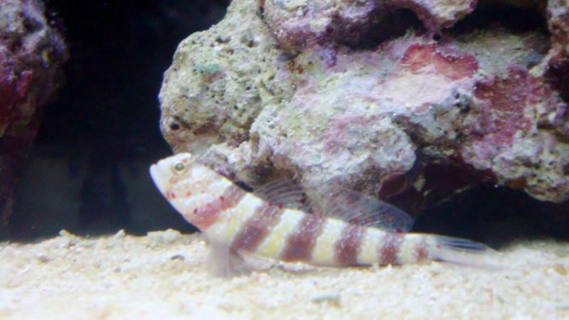 couple amblyeleotris weeleri Dsc04318