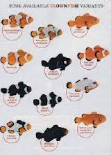 mes amphiprions ocellaris noire Nemo10