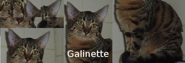 GALINETTE (tabby) Galine10
