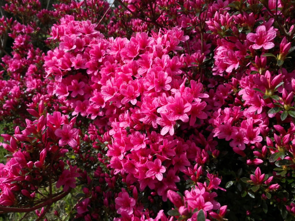 Floraisons du mois d'Avril Img_2066