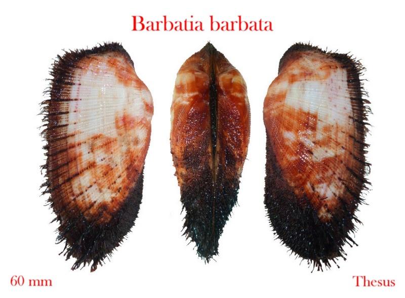 Barbatia barbata - (Linnaeus, 1758)  Zbarb10