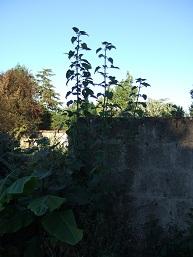 Salvia guaranitica Dscf0627