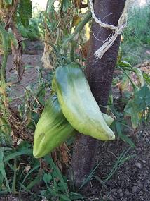 Solanum lycopersicum - les tomates Dscf0632