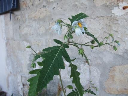Solanum sisymbriifolium - morelle de Balbis Dscf0725