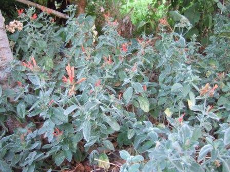 Dicliptera sericea (= Dicliptera suberecta) Dscf0810