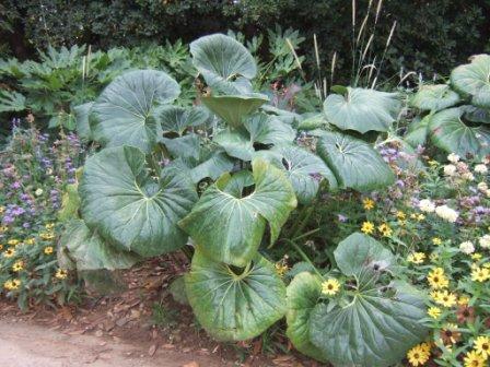Farfugium japonicum = Ligularia kaempferi Dscf0827